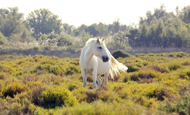 Weiße Pferde, die frei herumlaufen!