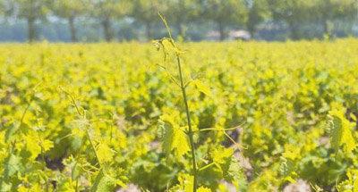 Weinreben auf dem Weinberg im Burgund