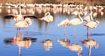 Pinke Flamingos in der Camargue