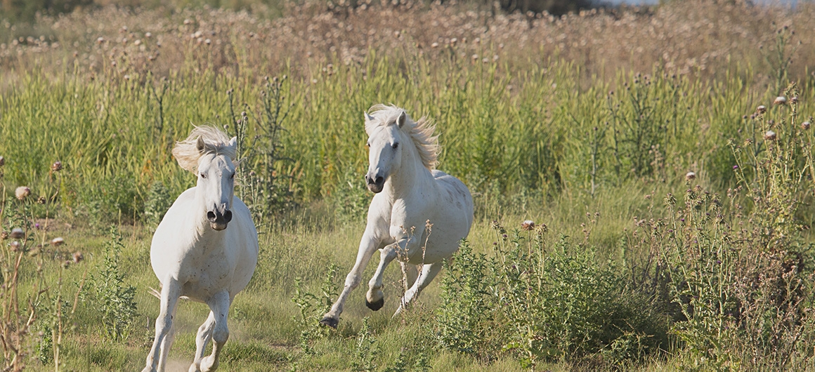Wildpferde in der Camargue
